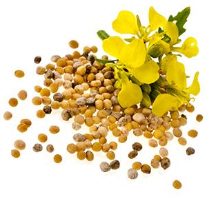 graines de moutarde