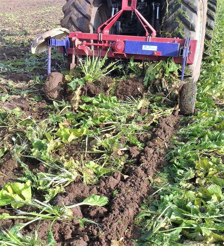 Récolte de racines de raifort